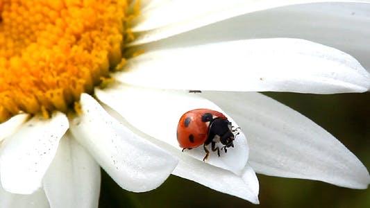 Thumbnail for Ladybug