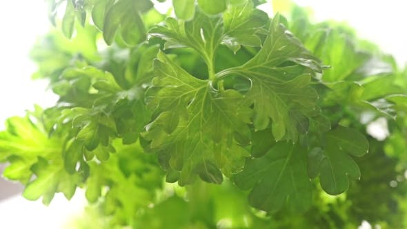 Cover Image for Parsley Shallow Focus Pan Shot Against White Background