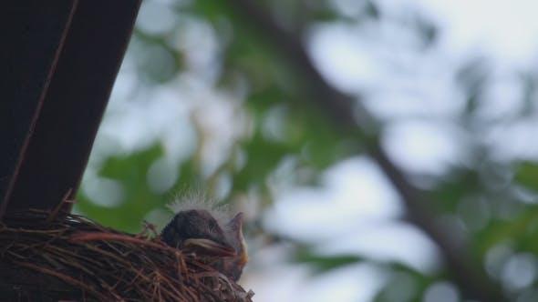Thumbnail for Fieldfare Thrush Chicks