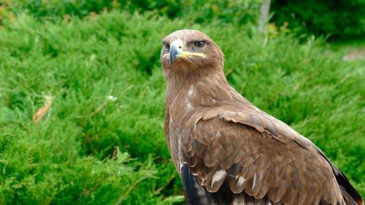 Thumbnail for Bird Eagle