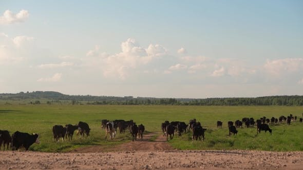Thumbnail for Herd Of Cows Walking Across The Field