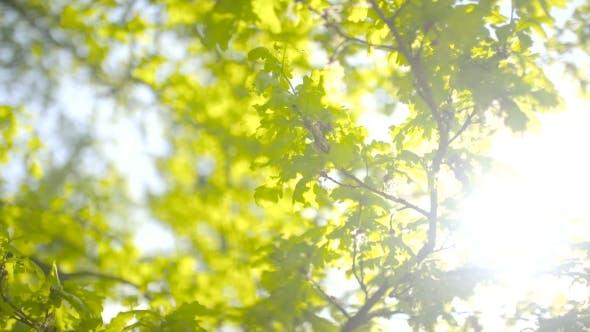 Thumbnail for Sun Shines Through Green Leaves