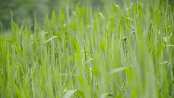 Thumbnail for Green Sedges, Reeds And Grass Swaying In The Wind