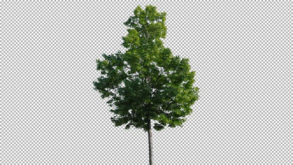 Cover Image for Real Tree Isolated On The Wind 61
