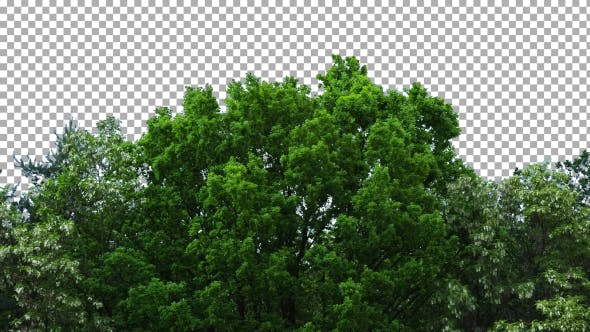Cover Image for Real Trees Isolated On The Wind 7