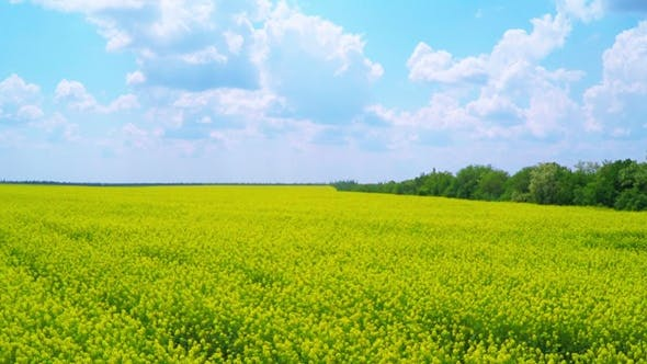 Thumbnail for Rapeseed Blooming.