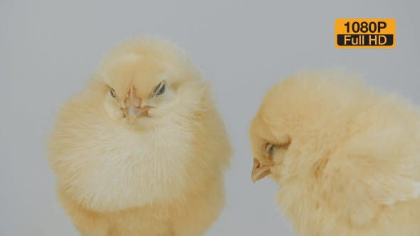 Thumbnail for Chicks Sleeping on The White Background Close 2