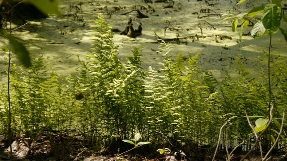 Fern Growing On a Bog In The Wild Forest.