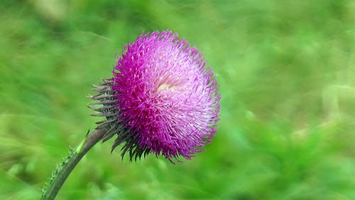 Thistle Flower On a Stalk