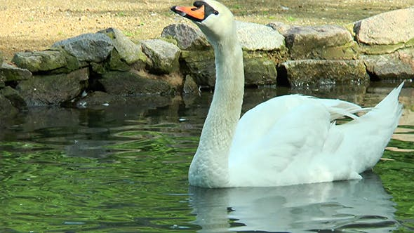Thumbnail for White Swan Floating in a Pond Drinks Water and Shakes His Head