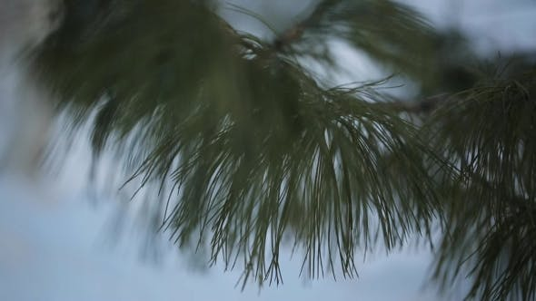 Thumbnail for The Branch Of Pine Tree  In Calm Weather