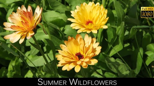 Thumbnail for Summer Wildflowers