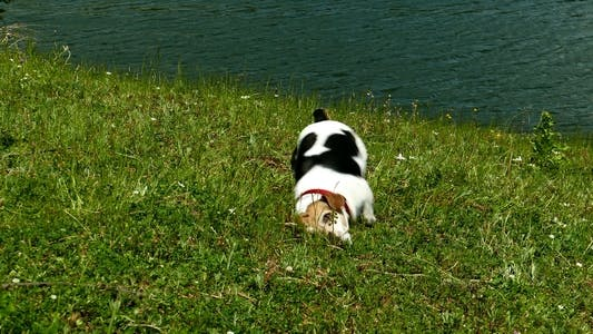 Thumbnail for Jack Russell Terrier Rolling in the Grass 5