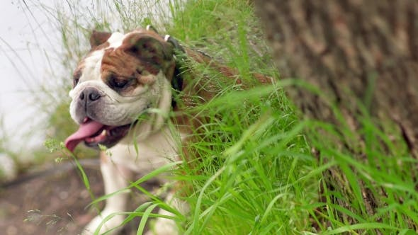 Thumbnail for Champion Male English Bulldog In The Grass