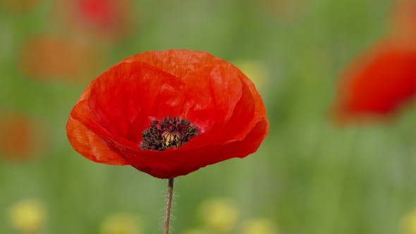 Thumbnail for Single Poppy Swaying With Wind