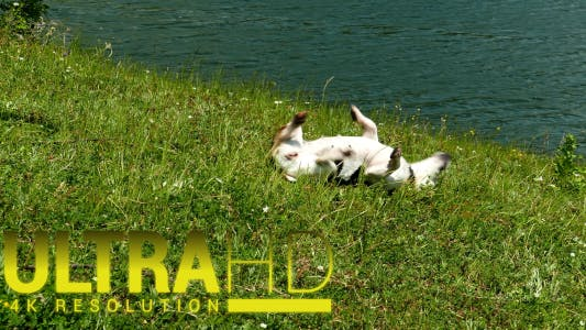 Thumbnail for Jack Russell Terrier Rolling in the Grass 6