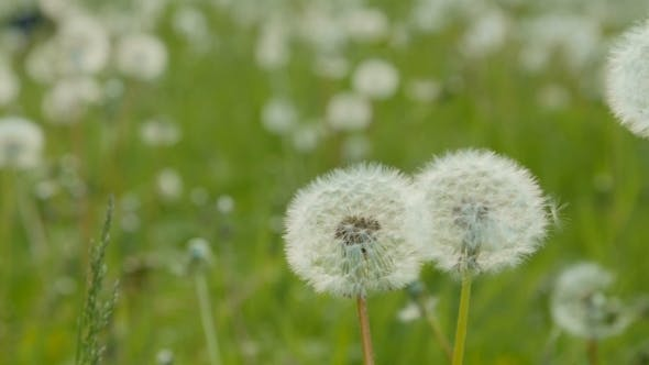 Thumbnail for White Dandelion In The Meadow. Dolly Pan