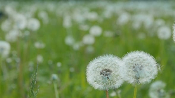 Thumbnail for White Dandelion In The Meadow
