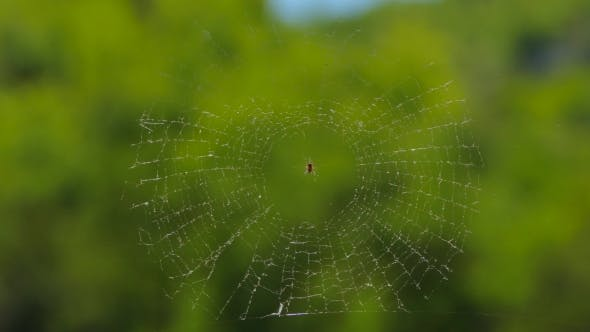 Thumbnail for Round Web With Spider At Nature