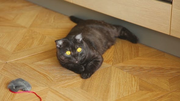 Cover Image for Gray Scottish Fold Cat