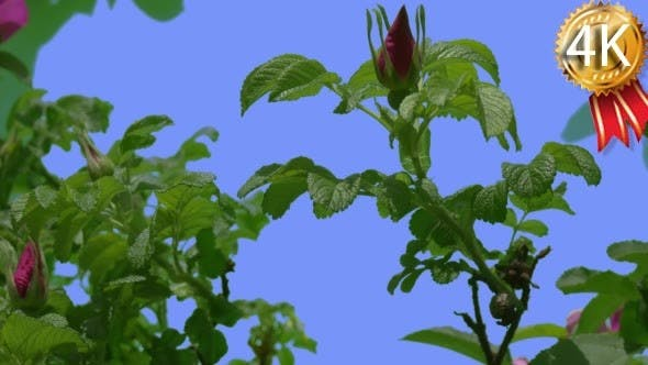 Thumbnail for Violet Rose Buds Green Sepals Rose Bush Green