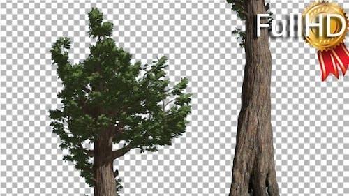 Giant Redwood Evergreen Awl-Shaped Leaves