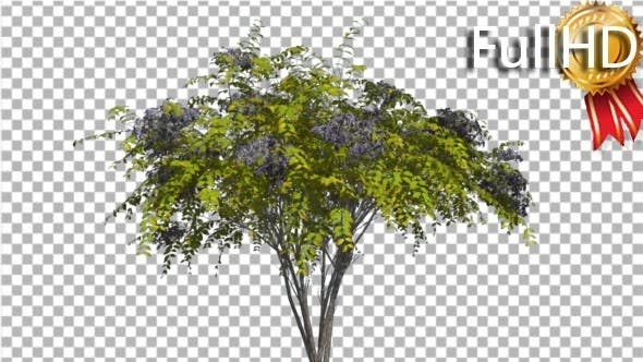 Cover Image for Japanese Angelica Tree Bush Blue Inflorescences
