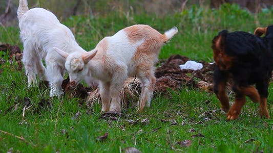 Cover Image for Lamb Chewing on Grass