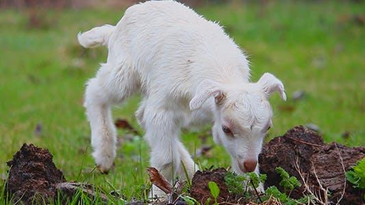 Thumbnail for Summer and Lambs