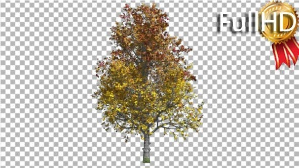 Thumbnail for Mountain Maple Tree Swaying at the Wind Crown
