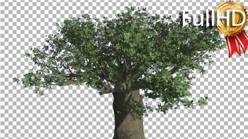 Crown of Madagascan Baobab Tree Swaying at the