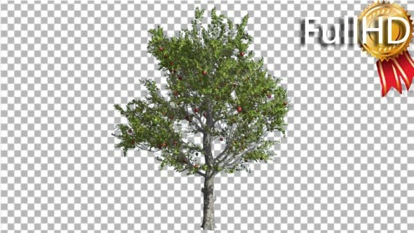 Thumbnail for Apple Tree Red Fruits Thin Tree Swaying at the
