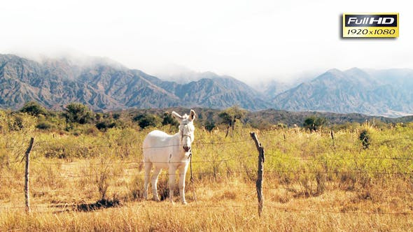 Thumbnail for White Donkey Behind the Wire Fence in the Mountain Valley.