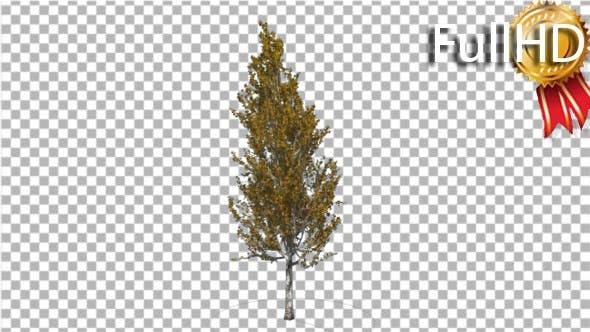 Thumbnail for Lombardy Poplar Tree is Swaying at the Wind
