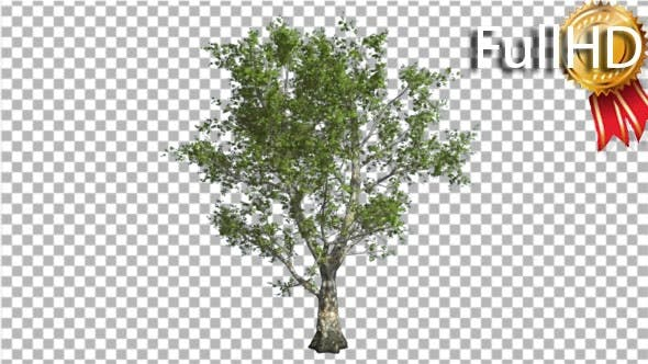 Thumbnail for London Plane Tree schwankend an der Wind Green Crown