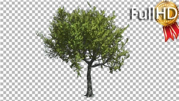 Thumbnail for Red Oak Tree is Swaying at the Wind Green