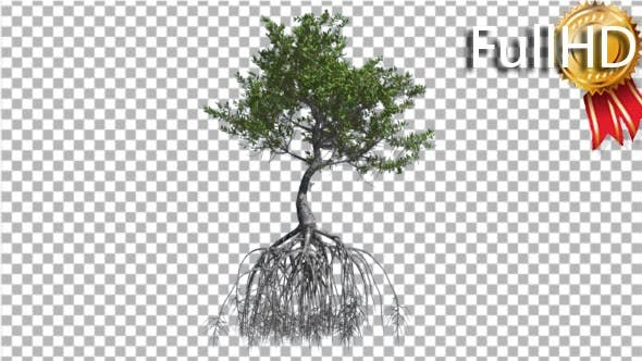 Thumbnail for Red Mangrove Tree Large Root System Green Leaves