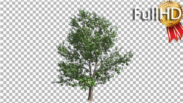Thumbnail for Korean Stewartia Thin Tree is Swaying at the Wind