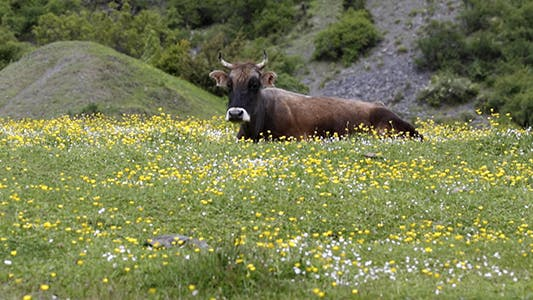 Thumbnail for Cow Grazing on a Green Meadow