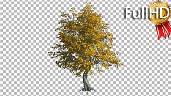 Thumbnail for Katsura Tree Fall With Roots is Swaying Wind