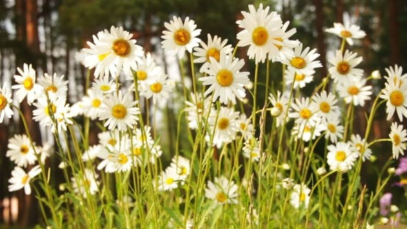 Thumbnail for Chamomile Flowers On a Sunny Day