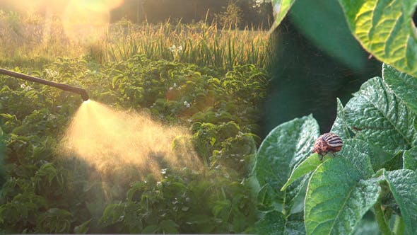 Colorado Potato Beetle and Insecticidal Soap Spray