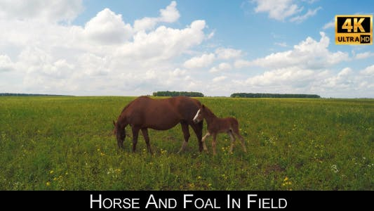 Cover Image for Horse And Foal In Field