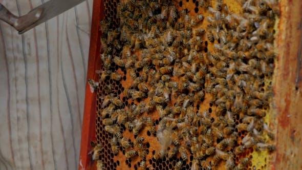 Thumbnail for Beekeeper Cuts Zabrus
