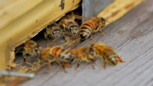 Cover Image for Bees At The Entrance To The Hive