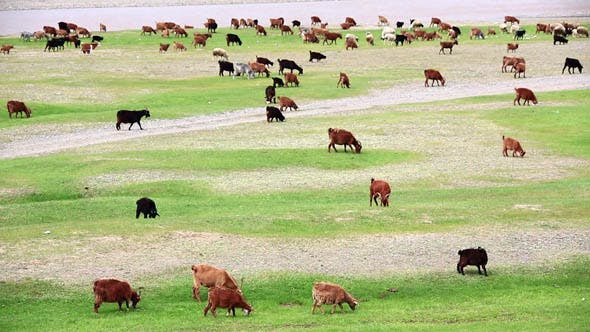Thumbnail for Animals Grazing on River Bank 2