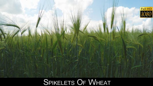 Thumbnail for Spikelets Of Wheat