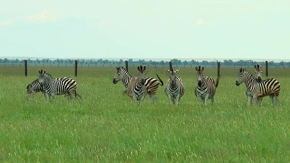Thumbnail for Eight of Zebras in the Steppes