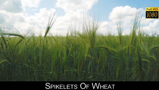 Thumbnail for Spikelets Of Wheat 2