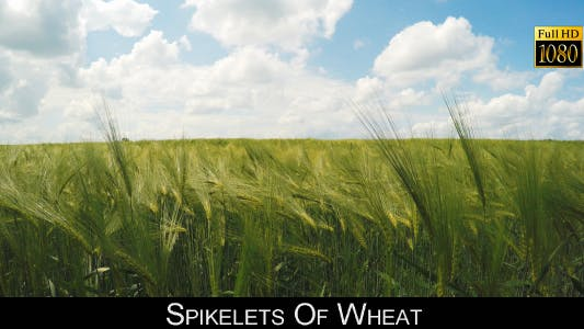 Thumbnail for Spikelets Of Wheat 3